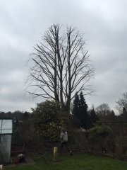 tree surgery Carshalton