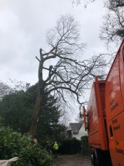 tree-surgery-in-carshalton2.jpg